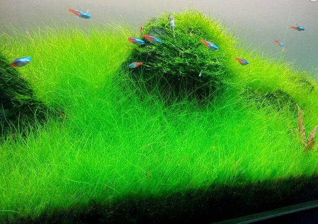 Tips Menanam Hair Grass untukAquascape