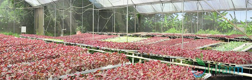 8 Hal penting agar sayuran hidroponik tumbuhsehat